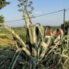 http://www.dalmatia-pictures.com/wp-content/uploads/2012/03/Viski_aloji_i_kaktusi_004.jpg