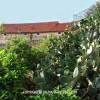 http://www.dalmatia-pictures.com/wp-content/uploads/2012/03/Viski_aloji_i_kaktusi_007.jpg