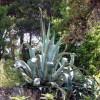 http://www.dalmatia-pictures.com/wp-content/uploads/2012/03/Viski_aloji_i_kaktusi_008.jpg