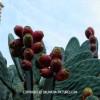 http://www.dalmatia-pictures.com/wp-content/uploads/2012/03/Viski_aloji_i_kaktusi_012.jpg